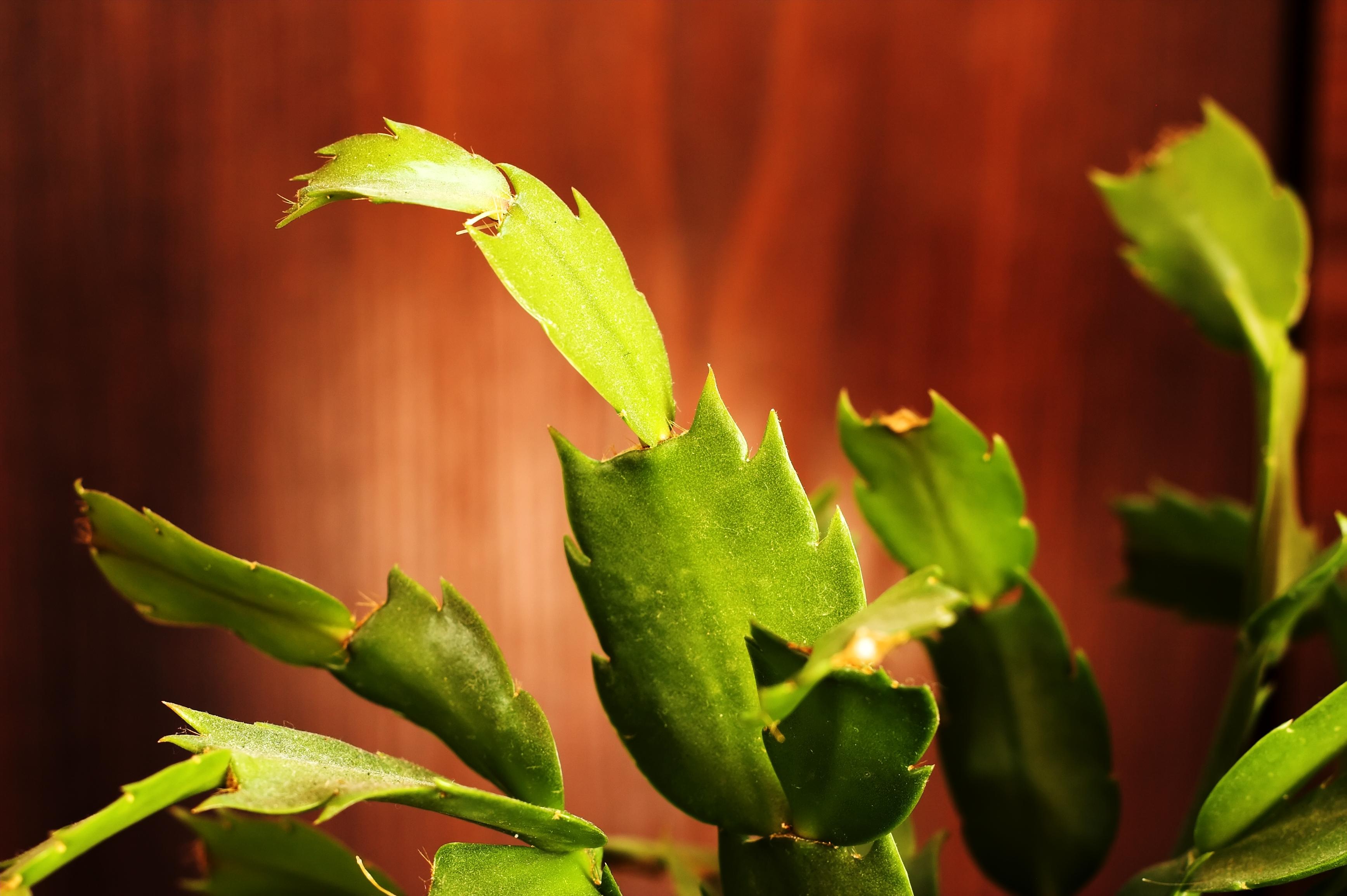 El cactus de navidad el blog de los mejores consejos y for Cactus de navidad