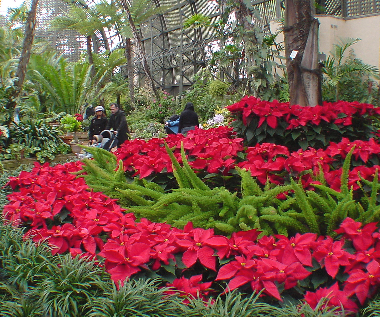 Cuidados de la flor de pascua el blog de los mejores - Flor de pascua cuidados ...