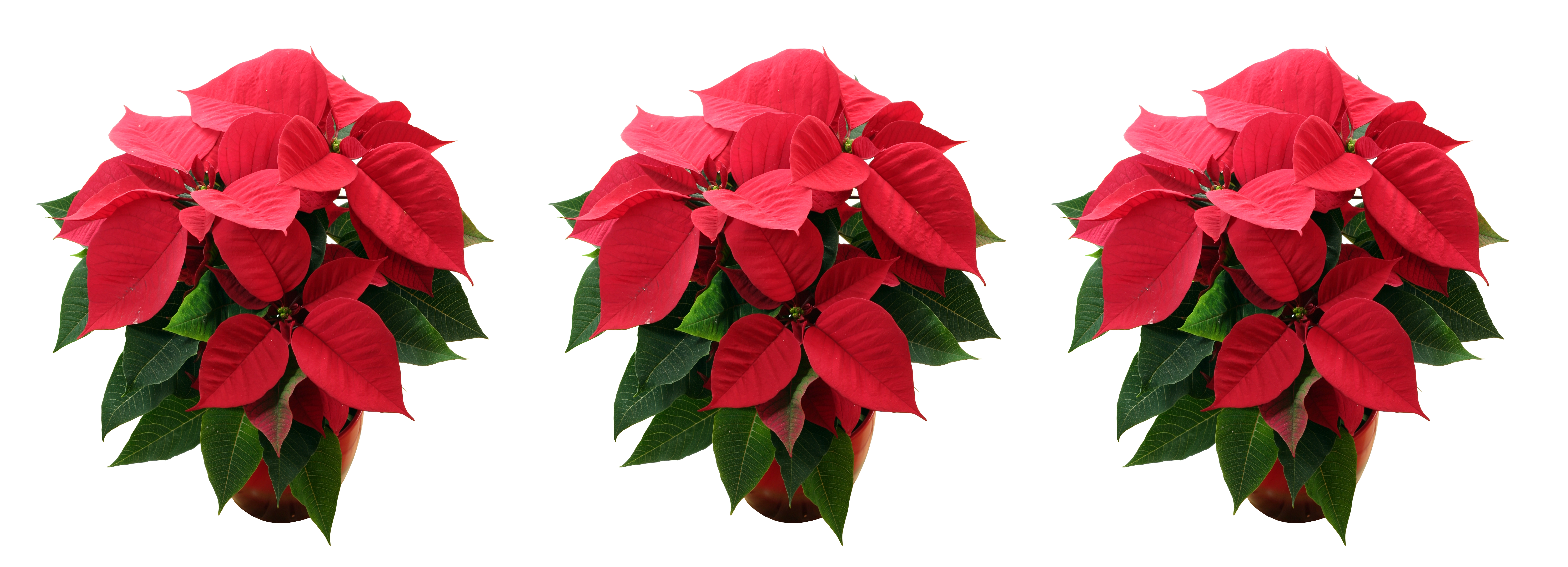 Cuidados de la flor de pascua el blog de los mejores consejos y trucos - Cuidados planta navidad ...