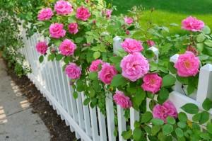 rosas en el jardin