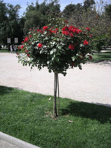Como plantar rosales en tu jard n el blog de los mejores for Arboles altos para jardin