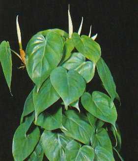 Plantas venenosa en nuestro hogar el blog de los mejores for Planta filodendro