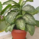 Planta toxica