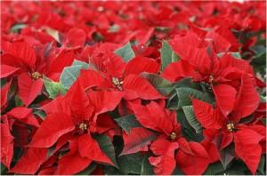 cuidados-plantas-para-navidad-flor-de-pascua