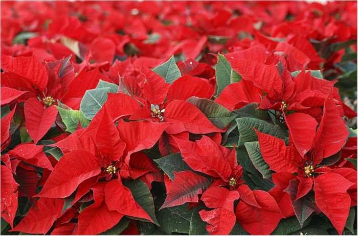 Flor de navidad imagui - Cuidados planta navidad ...
