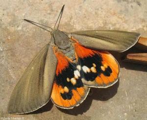 paysandisia-adulta-plaga-palmera